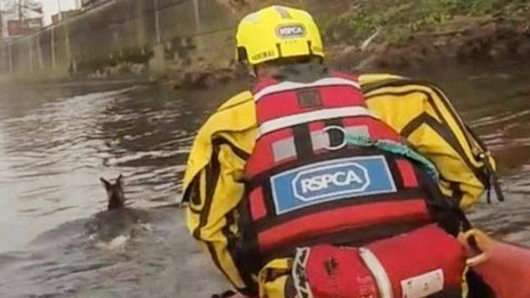 RSPCA Rescue Deer in Salford