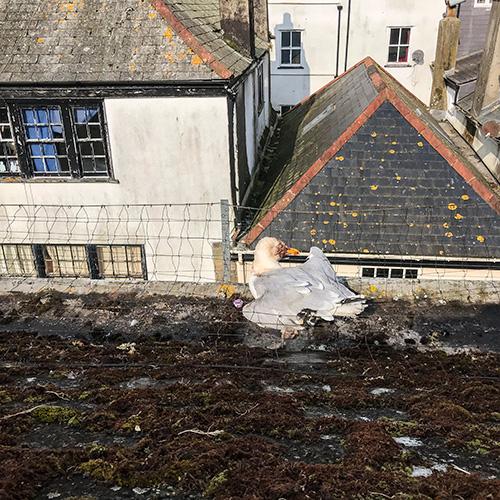 Rescued seagull in Dartmouth